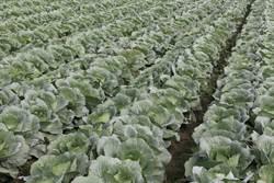 高麗菜供苗量674萬株「紫爆」 農委會籲農民減種轉作