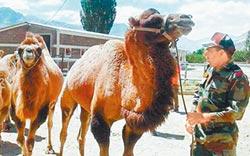 中印邊境運物資 印部署雙峰駱駝