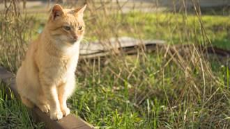 不捨主人離世 忠心橘貓風雨無阻連700天到墓前哀悼