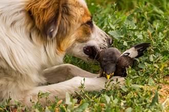 好心貓狗叼幼小野生動物回家養 照養員崩潰:這不是幫助