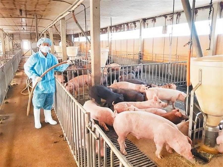 美國萊豬開發進口,國內豬農必須快速因應,才能壯大競爭力。此為示意圖。(本報系資料照片)