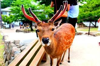 等嘸觀光客!日本奈良鹿出現「鹿餅成癮症」忘了怎麼吃草