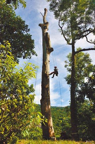 鋸除11樓高危木 攀樹師變蜘蛛人