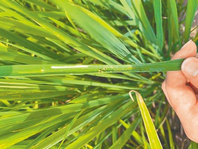 目前正值2期稻分蘗期,瘤野螟會啃食水稻葉片,影響作物生長與產量,圖為水稻葉片上白線為瘤野螟啃食痕跡。(苗栗縣政府提供)