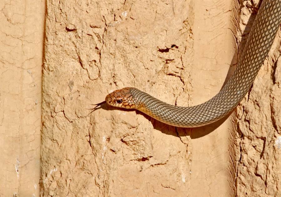 貪食蛇「轉5個彎」沿縫爬行 網笑炸:好有規矩(示意圖/達志影像)