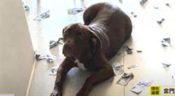 30張千元鈔被咬爛主人含淚拼圖 愛犬露哀怨眼神求饒