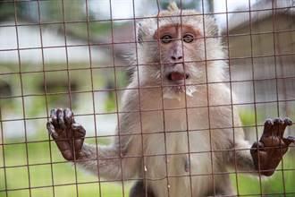 猴子頭頂被鑿洞塞電擊棒 實驗照曝光太殘忍
