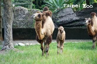 駱駝想揪弟弟玩「邊跑邊用腳碰」 體型差很大媽好擔心