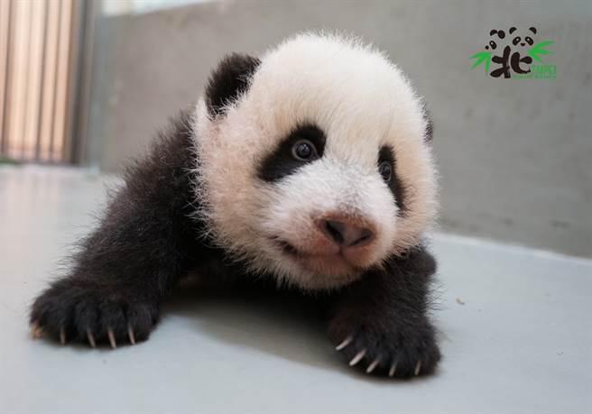 「圓寶」趁媽媽吃東西時,偷偷划出產房(圖/台北市立動物園提供)