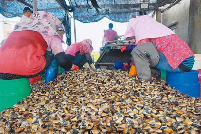 雲林沿海文蛤收成不佳,中秋節前恐飆漲至每台斤150元。(張朝欣攝)