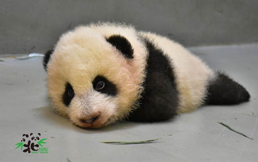 圓寶無法撐起整個身體,因此經常上演「瓊瑤式跌倒」(圖/台北市立動物園提供)
