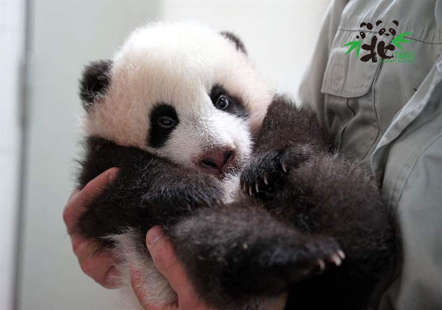 圓寶被保育員抱在手中,模樣非常可愛(圖/台北市立動物園提供)
