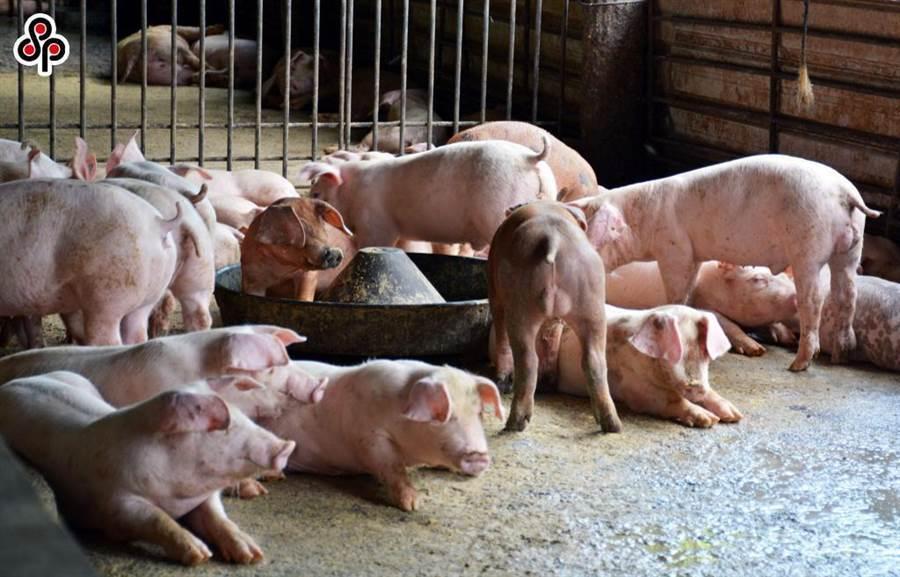 蔡政府宣布開放含瘦肉精美豬,引發民眾及豬農不滿 (圖/報系資料照)