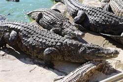 捕到3公尺猛獸綁機車上 少年不怕死跨坐鱷魚身載回家
