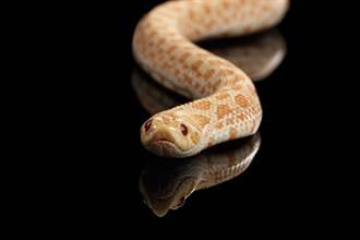 大白蛇戴上可愛菇菇帽遮陽 猛一看網友全傻了