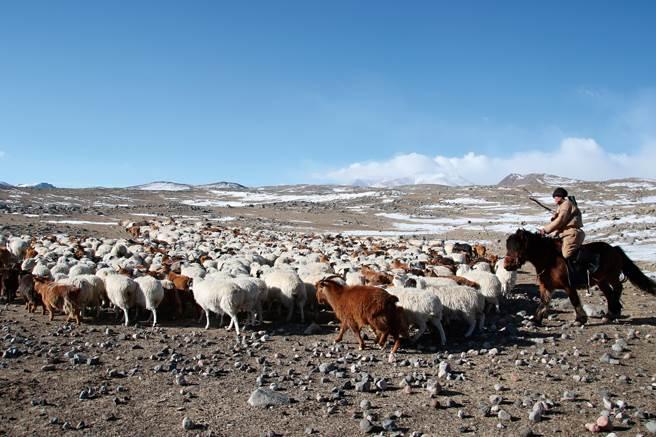 犛牛群走在厚雪層上,後方有牧民騎馬壓陣。(圖/講義雜誌提供)