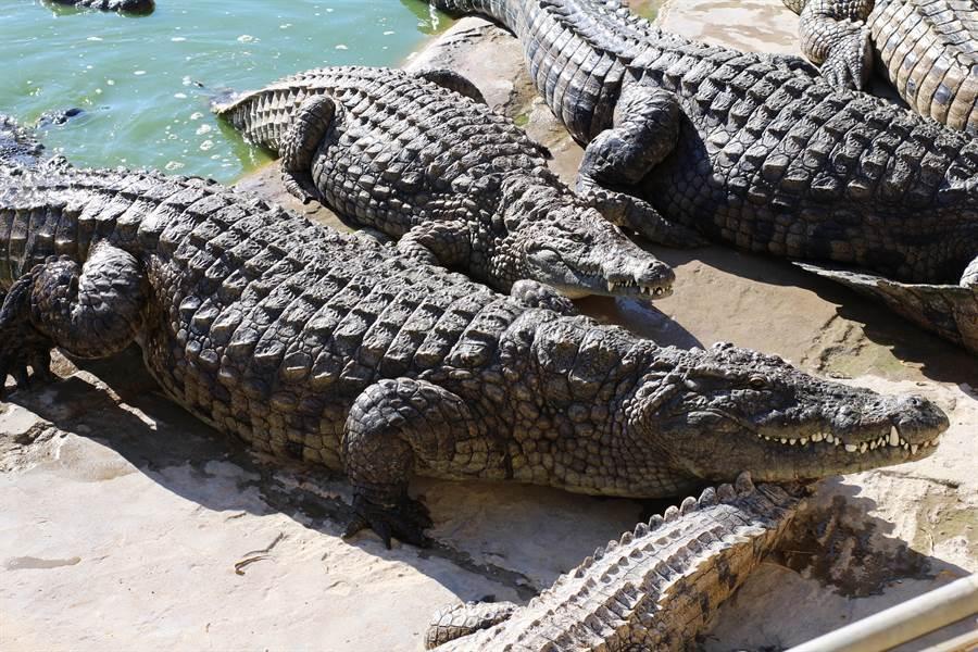 青少年非法偷捕鱷魚,可惡行徑讓不少人感到氣憤(示意圖/達志影像)