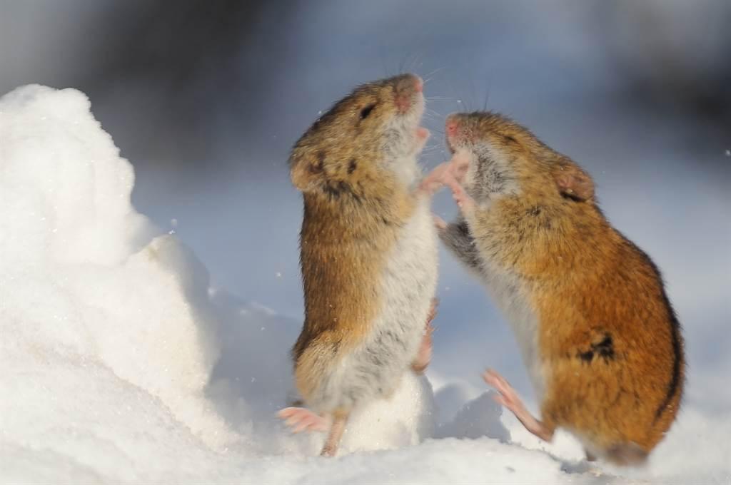 2巨鼠深夜街邊站立互毆 激烈嘶吼聲嚇傻路人(示意圖/達志影像)