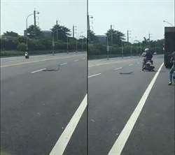 屏東馬路驚見1公尺大蛇瘋狂甩動「跳舞」 騎士嚇壞