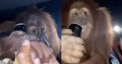 拉紅毛猩猩上車狂歡!「逼喝能量飲」屁孩笑翻 網拳頭硬了狂譙
