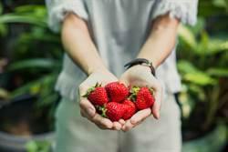 澳洲草莓藏針重演? 大眼金髮妹喜吃草莓 舌頭慘被刺傷