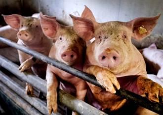 200小豬拉肚子身亡 東日本爆豬瘟 5400豬將被殺
