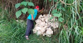 上山採筍挖到巨菇 野生雞肉絲菇比傘還大