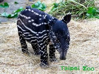 馬來貘寶寶命名賽 動物園提2字讓網友笑瘋:不用猶豫了