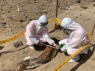 又見保育悲歌 馬祖岸際處理死亡鯨豚