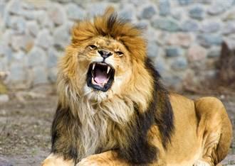 威風獅王霸氣低吼 調皮遊客硬槓秒變「獅吼PK戰」