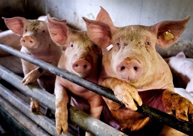 日本群馬縣一間養豬場爆發豬瘟,200隻小豬拉肚子後身亡,當局準備屠殺養豬場內5,400頭豬隻。(資料照/美聯社)