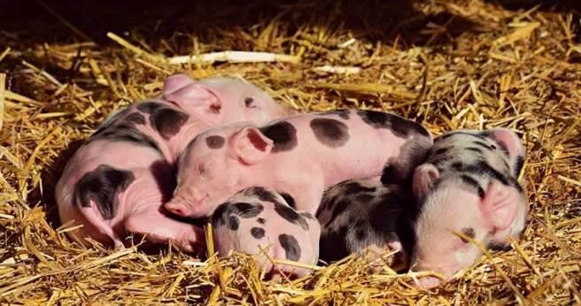 群馬縣爆出豬瘟疫情,小豬頻腹瀉死亡。(圖/Pixabay)