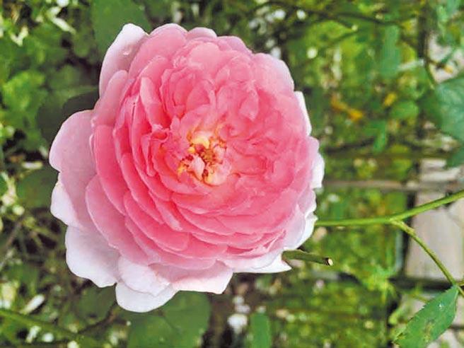 英國玫瑰育種家大衛奧斯汀所育出的最初實現夢想品種「巴斯之妻」。(臺北市政府工務局公園路燈工程管理處提供)