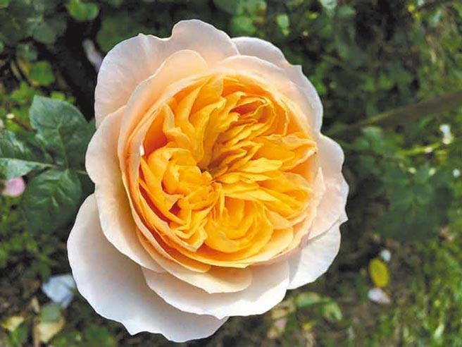 英國玫瑰育種家大衛奧斯汀所育出的「茱麗葉」雍容華貴,是全世界最名貴的玫瑰品種。(臺北市政府工務局公園路燈工程管理處提供)