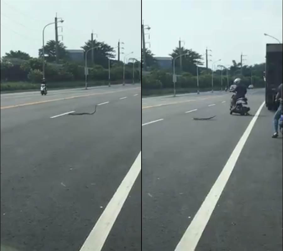 屏東機場附近日前出現一隻蛇在馬路上「跳舞」,網友紛猜測是馬路太燙,或蛇本身有受傷。(臉書粉專《吃喝玩樂》/蘇育宣翻攝)