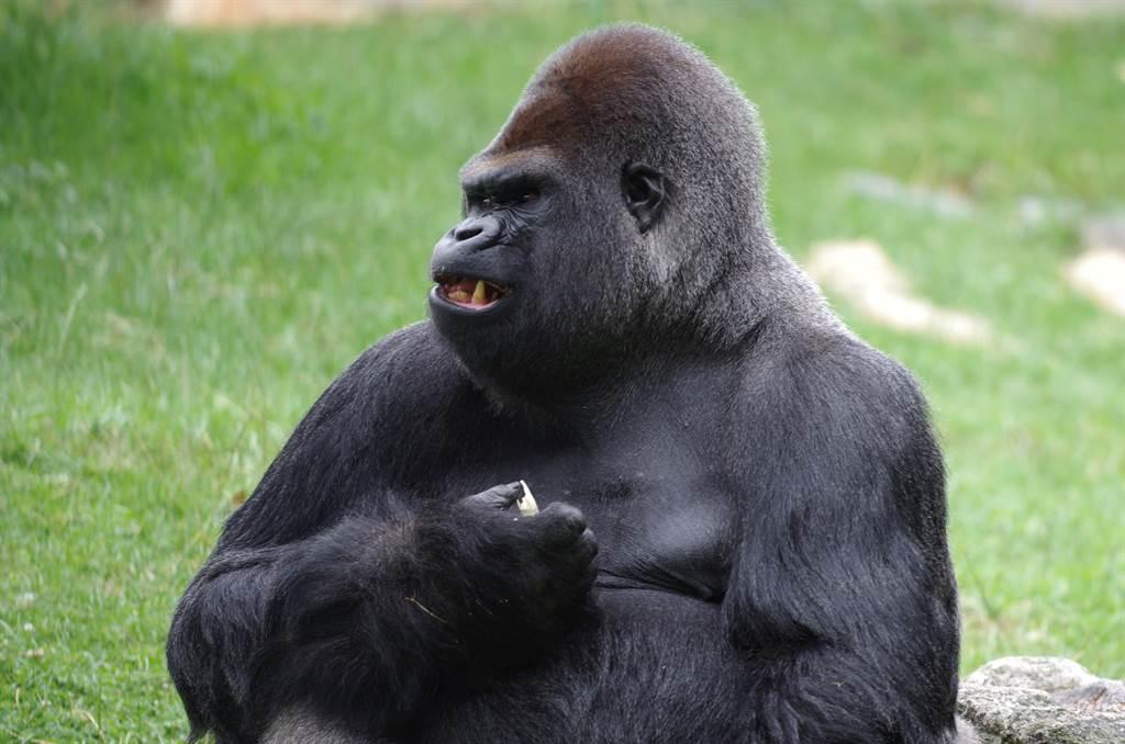動物園大猩猩突暴走!衝破3閘門痛毆飼育員「2手臂慘被扯斷」(示意圖/達志影像)