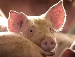 美豬能換台美FTA? 他斷言:台灣人恐吞8個月瘦肉精