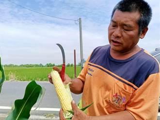 甜玉米收成強碰拍賣市場休市 朴子農民請託里長銷售