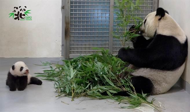 圓寶觀摩媽媽圓圓吃竹子的模樣(圖/臺北市立動物園提供)