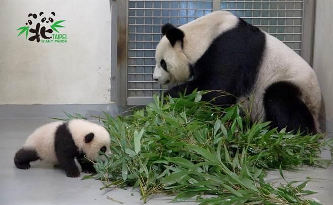 不過圓寶目前還只能喝母奶 不能吃竹子(圖/臺北市立動物園提供)