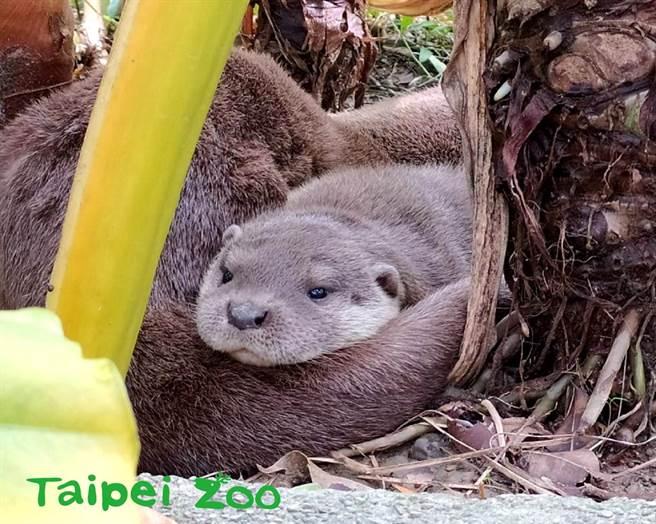 水獺莎夏在媽媽的教導下已經成為游泳高手(圖/臺北市立動物園提供)