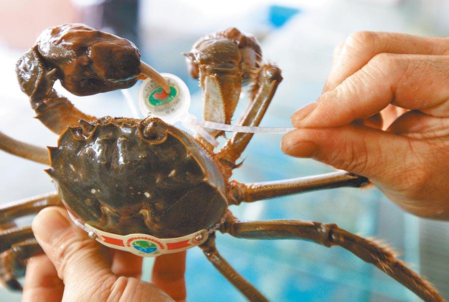 工作人員給陽澄湖大閘蟹戴防偽環。(新華社資料照片)