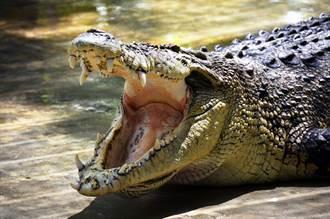 鬥牛㹴慘被活吞 3公尺巨鱷吃超飽「胖得像豬」原地休息