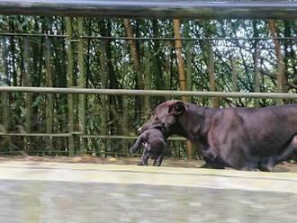 浪媽叼8奶狗奔走16公里 偷塞民宿求生結局超暖心