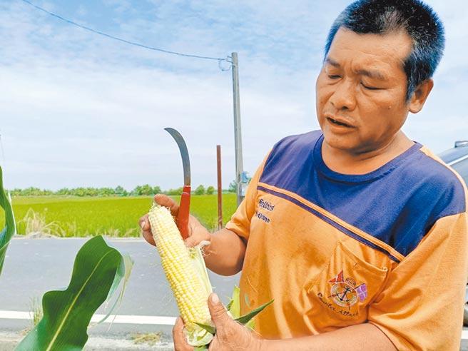 嘉縣農民林金地說,5分地的甜玉米若賣不出去,只能放著當肥料,他特別拜託最會賣農產品的朴子市文化里長楊石旭代賣。(張毓翎攝)