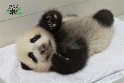 動物園準備大貓熊「中秋神秘點心」 圓寶有機會外出踏青