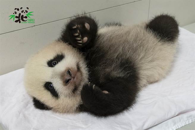 假若室外溫度不超過27度,大貓熊寶寶「圓寶」就有機會外出踏青(圖/台北市立動物園提供)