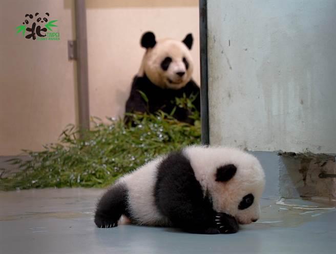 「圓寶」雖然只能喝母奶,不過可以與媽媽「圓圓」待在一起歡度佳節(圖/台北市立動物園提供)
