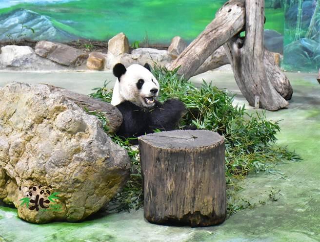 北市動物園在中秋節,還為大貓熊們準備中秋特製點心(圖/台北市立動物園提供)