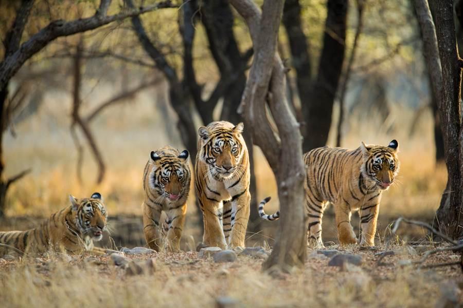 老虎成年後過著獨居生活,幾乎難以看到合作狩獵(示意圖/達志影像)